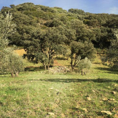 Les vieux oliviers