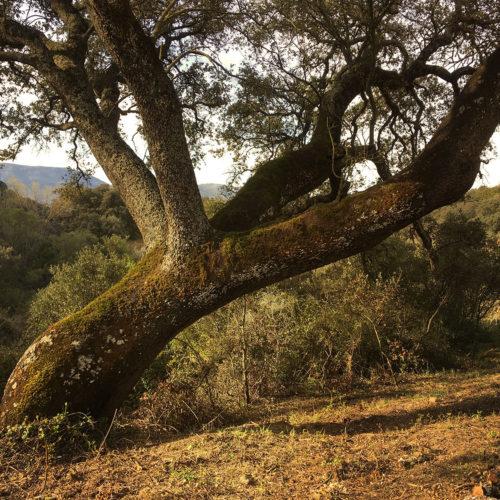 Chêne vert de plus 400 ans